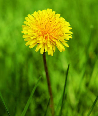 Dandelion Root Uses Side Effects Benefits Of Dandelion Root Tea